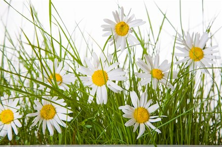 spanishalex (artist) - Daisy flowers and green grass over a white background Stock Photo - Budget Royalty-Free & Subscription, Code: 400-04312365