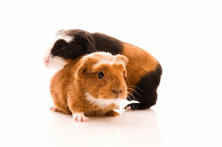 baby guinea pig Stock Photo - Budget Royalty-Free & Subscription, Code: 400-04313562