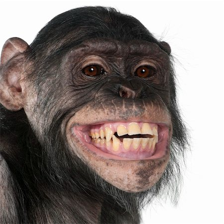 smiling chimpanzee - Close-up of Mixed-Breed monkey between Chimpanzee and Bonobo smiling, 8 years old Stock Photo - Budget Royalty-Free & Subscription, Code: 400-04327516