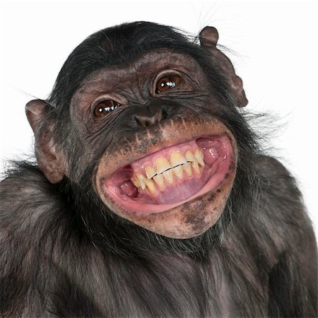 smiling chimpanzee - Close-up of Mixed-Breed monkey between Chimpanzee and Bonobo smiling, 8 years old Stock Photo - Budget Royalty-Free & Subscription, Code: 400-04327517