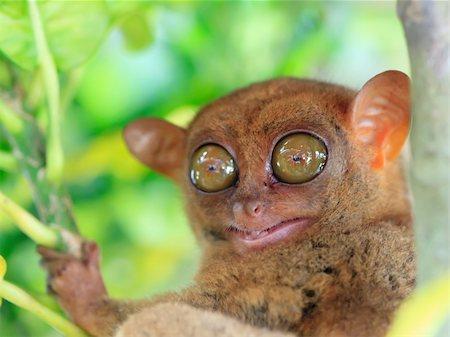 Funny Philippine tarsier (Tarsius syrichta). Bohol. Philippines Stock Photo - Budget Royalty-Free & Subscription, Code: 400-04334314
