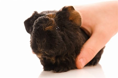 baby guinea pig Stock Photo - Budget Royalty-Free & Subscription, Code: 400-04337414