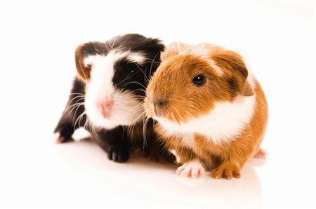 baby guinea pigs Stock Photo - Budget Royalty-Free & Subscription, Code: 400-04337418