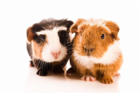 baby guinea pigs Stock Photo - Budget Royalty-Free & Subscription, Code: 400-04337419