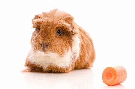 baby guinea pig Stock Photo - Budget Royalty-Free & Subscription, Code: 400-04337421