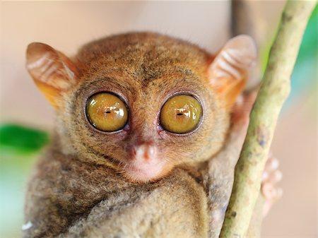 Funny Philippine tarsier (Tarsius syrichta). Bohol. Philippines Stock Photo - Budget Royalty-Free & Subscription, Code: 400-04339287