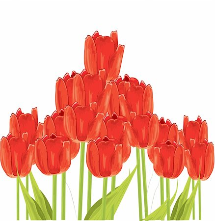 Bunch of tulips isolated on white background Stock Photo - Budget Royalty-Free & Subscription, Code: 400-04333524