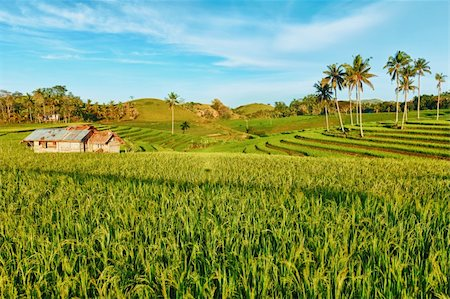 philippine terrace farming - Paddy rice field at day time. Bohol. Philippines Stock Photo - Budget Royalty-Free & Subscription, Code: 400-04346456