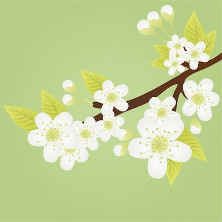 Vector illustration of apple-tree branch with flowers isolated on green Stock Photo - Budget Royalty-Free & Subscription, Code: 400-04367209