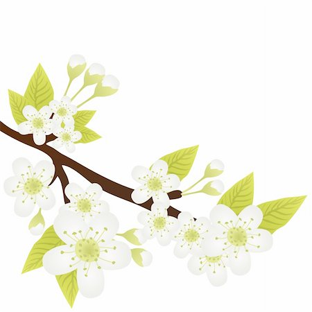 Vector illustration of apple-tree branch with flowers isolated on white Stock Photo - Budget Royalty-Free & Subscription, Code: 400-04367211