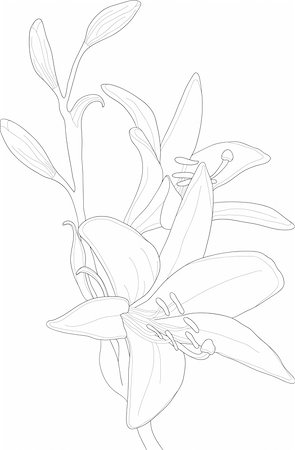 simsearch:400-04367215,k - Vector illustration of beautiful lily Stock Photo - Budget Royalty-Free & Subscription, Code: 400-04368857