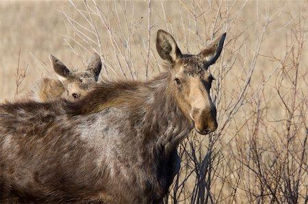 Moose Cow and Calf Saskatchewan Canada Stock Photo - Budget Royalty-Free & Subscription, Code: 400-04369901