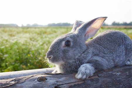 Image of cautious grey bunny lying on dry tree trunk outdoor Stock Photo - Budget Royalty-Free & Subscription, Code: 400-04363007