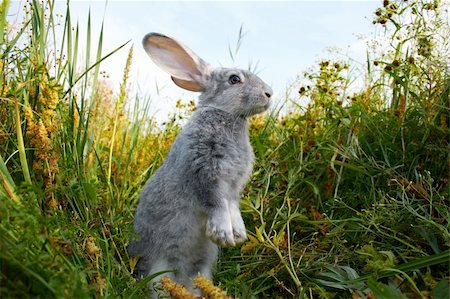 Image of cautious rabbit standing in green grass in summer Stock Photo - Budget Royalty-Free & Subscription, Code: 400-04363001