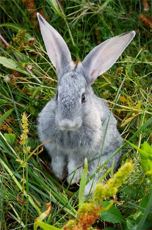 Image of cautious grey rabbit in green grass in summer Stock Photo - Budget Royalty-Free & Subscription, Code: 400-04363003
