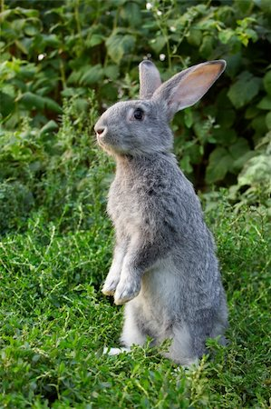 Image of cautious rabbit standing in green grass in summer Stock Photo - Budget Royalty-Free & Subscription, Code: 400-04363015