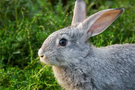 Image of cautious rabbit in green grass outdoor Stock Photo - Budget Royalty-Free & Subscription, Code: 400-04363010