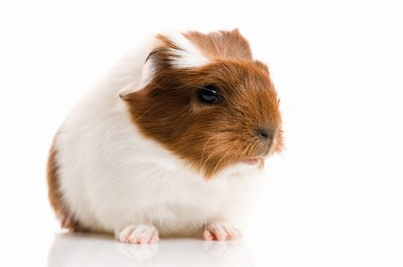 baby guinea pig Stock Photo - Budget Royalty-Free & Subscription, Code: 400-04376625