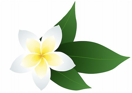 flores - Vector illustration of frangipani with leaves Stock Photo - Budget Royalty-Free & Subscription, Code: 400-04388190