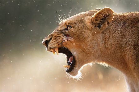 roar lion head picture - Lioness displays dangerous teeth during light rainstorm  - Kruger National Park - South Africa Stock Photo - Budget Royalty-Free & Subscription, Code: 400-04398219