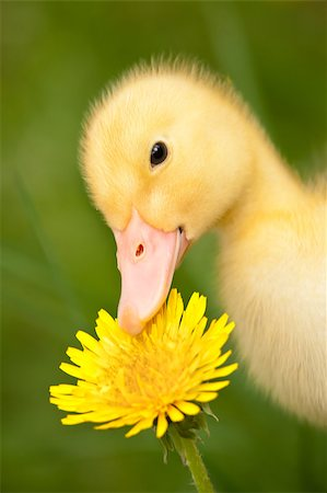 Little yellow duckling with dandelion on green grass Stock Photo - Budget Royalty-Free & Subscription, Code: 400-04399416