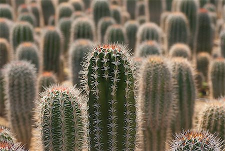 Farm producing a wealth of different cactus species Stock Photo - Budget Royalty-Free & Subscription, Code: 400-04399776