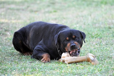 portrait of a angry purebred rottweiler with bone Stock Photo - Budget Royalty-Free & Subscription, Code: 400-04390796