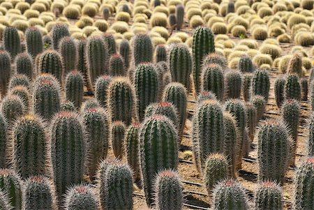 Industrial cactus farming, cardon and barrel cacti Stock Photo - Budget Royalty-Free & Subscription, Code: 400-04410029