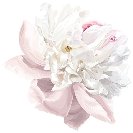 peony illustrations - Luxurious white peony flower painted in pastel colors Stock Photo - Budget Royalty-Free & Subscription, Code: 400-04410077