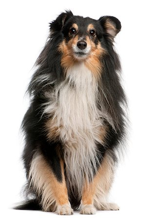 sheltie - Shetland Sheepdog, 7 years old, sitting in front of white background Stock Photo - Budget Royalty-Free & Subscription, Code: 400-04412072