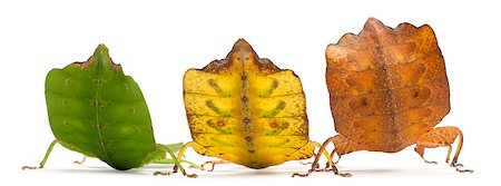 Phyllium Westwoodii, three stick insects, in front of white background Stock Photo - Budget Royalty-Free & Subscription, Code: 400-04412202