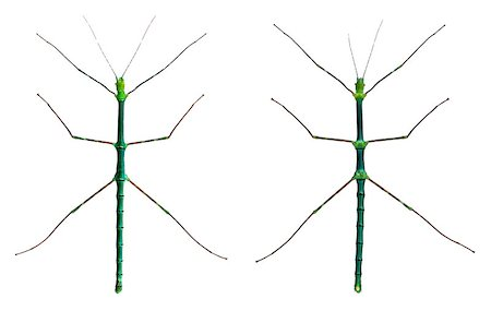 Myronides Sp, stick insects, in front of white background Stock Photo - Budget Royalty-Free & Subscription, Code: 400-04412255