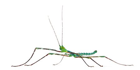Myronides Sp, stick insect, in front of white background Stock Photo - Budget Royalty-Free & Subscription, Code: 400-04412256