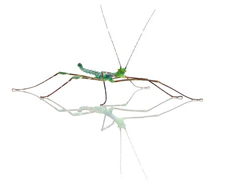 Myronides Sp, stick insect, in front of white background Stock Photo - Budget Royalty-Free & Subscription, Code: 400-04412257