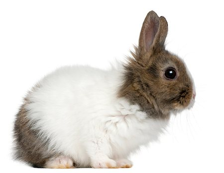 Young Lionhead rabbit, 2 months old, in front of white background Stock Photo - Budget Royalty-Free & Subscription, Code: 400-04412406