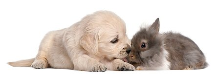 Golden Retriever puppy, 4 weeks old, and a rabbit in front of white background Stock Photo - Budget Royalty-Free & Subscription, Code: 400-04412535