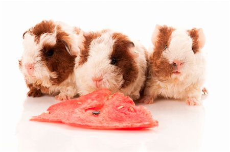 baby guinea pig Stock Photo - Budget Royalty-Free & Subscription, Code: 400-04424409