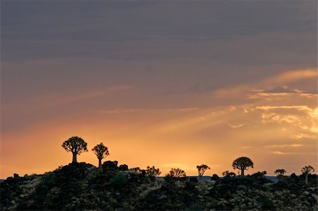 Silhouettes of quiver trees (Aloe dichotoma) at sunrise, Namibia Stock Photo - Budget Royalty-Free & Subscription, Code: 400-04438143
