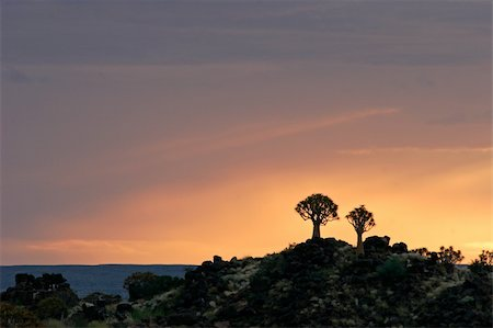 Silhouettes of quiver trees (Aloe dichotoma) at sunrise, Namibia Stock Photo - Budget Royalty-Free & Subscription, Code: 400-04438285