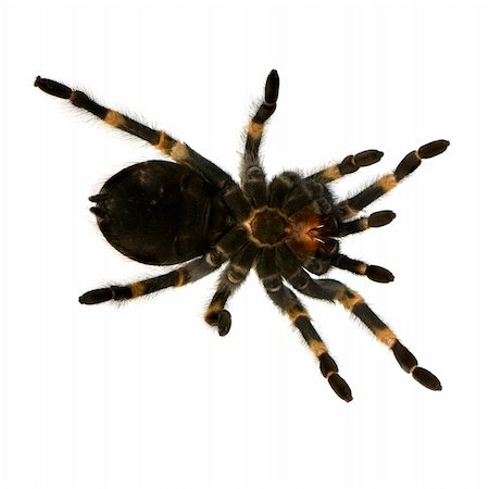 View from under Mexican redknee tarantula in front of a white backgroung Stock Photo - Budget Royalty-Free & Subscription, Code: 400-04444860