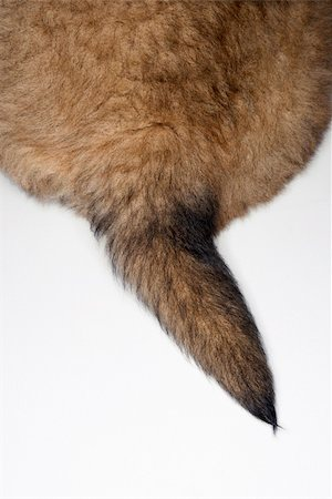 Puppy tail. Stock Photo - Budget Royalty-Free & Subscription, Code: 400-04446250