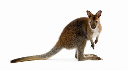 Wallaby in front of a white background Stock Photo - Budget Royalty-Free & Subscription, Code: 400-04447688