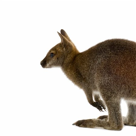 Wallaby in front of a white background Stock Photo - Budget Royalty-Free & Subscription, Code: 400-04447690