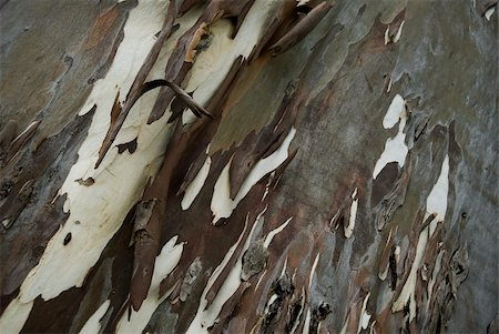 pimento - Pimento tree with bark stripping Stock Photo - Budget Royalty-Free & Subscription, Code: 400-04441006