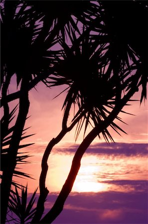 Image shows silhouettes of tropical trees against a spectacular sunset Stock Photo - Budget Royalty-Free & Subscription, Code: 400-04454353
