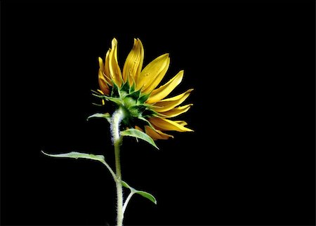 Sunflower shot in studio with a black background Stock Photo - Budget Royalty-Free & Subscription, Code: 400-04474357
