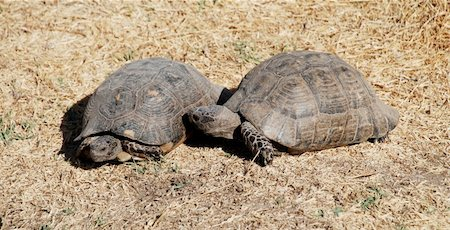 people mating - Couple of turtles making love in the centre of Athens, Greece Stock Photo - Budget Royalty-Free & Subscription, Code: 400-04476617