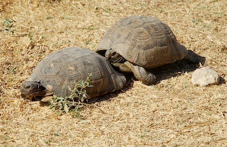 people mating - Couple of turtles making love in the centre of Athens, Greece Stock Photo - Budget Royalty-Free & Subscription, Code: 400-04476611