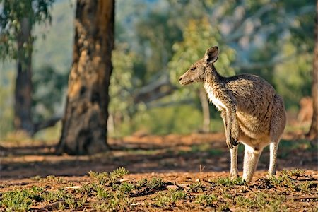 photo of an australian eastern grey kangaroo Stock Photo - Budget Royalty-Free & Subscription, Code: 400-04476999