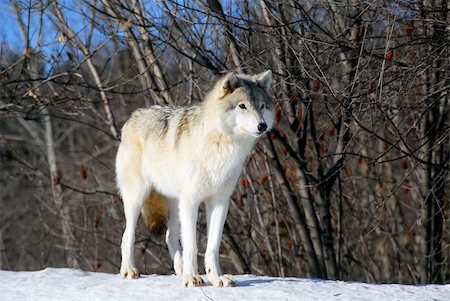 Picture of a Gray Wolf in it's natural Winter habitat Stock Photo - Budget Royalty-Free & Subscription, Code: 400-04504839